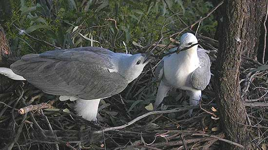 Male and Female renovating the nest