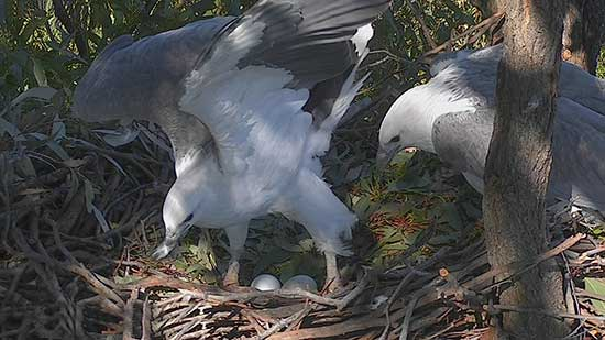 Male and Female on the nest