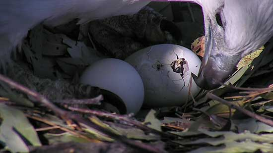 Female watching egg hatch
