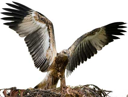 Eaglet with wings spread!