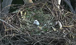 First chick and egg on the nest