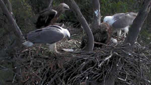 Male & Female with 5 month old Eaglets.