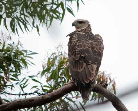 2013 Sea-Eagle fledling
